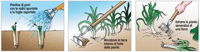coltivare porri, coltivazione porro, coltivare i porri, come coltivare i porri, coltivazione porri