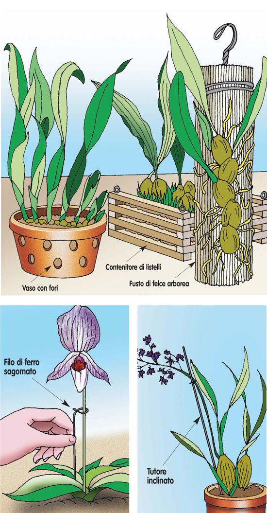 come curare le orchidee, orchidee, orchidea, cura orchidee