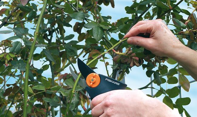 Come potare le rose giardinaggio bricoportale for Potare le rose