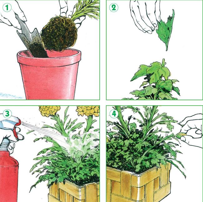 crisantemi, crisantemo, crisantemo giapponese, crisantemo significato