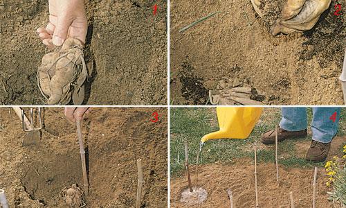 foto di coltivazione della dalia