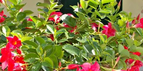 Come piantare il ciliegio passo passo fai da te in giardino for Dipladenia malattie