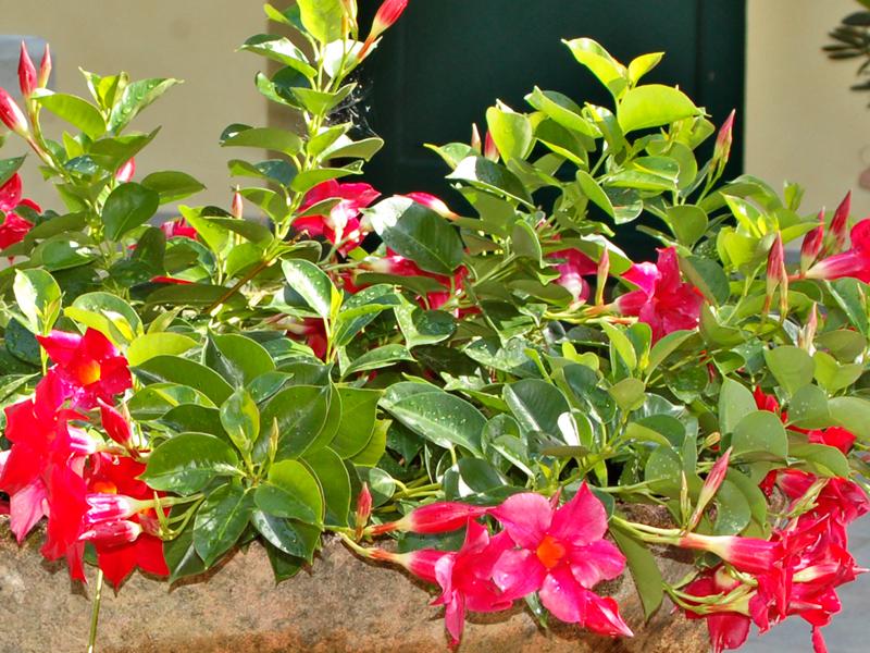 Dipladenia Mandevilla | Guida alla coltivazione con successo