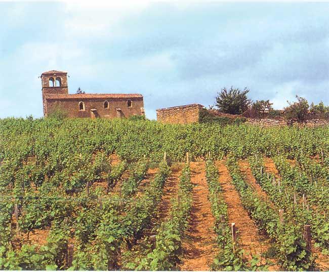 coltivazione della vite per garantire massima insolazione