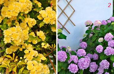 foto di roselline e ortensie giardino vigneto