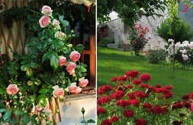 foto di rose e garofani