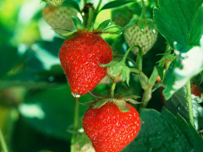 Piantare e coltivare le fragole giardinaggio for Pianta fragole