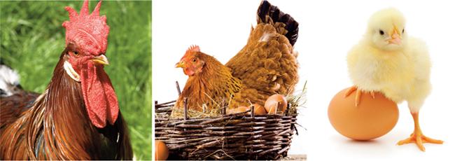 gallo, chioccia e pulcini