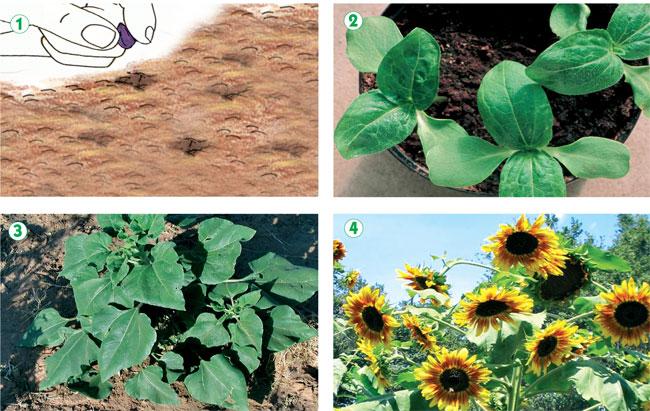 Girasole fiore: Coltivare e moltiplicare Fai da te in