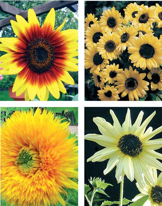 girasole fiore, girasole, girasoli, foto di girasoli, helianthus, i girasoli, il girasole, coltivare il girasole, moltiplicare il girasole