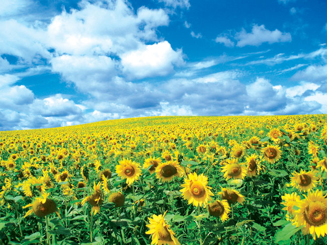 Girasole fiore coltivare e moltiplicare fai da te in for I fiori della balsamina