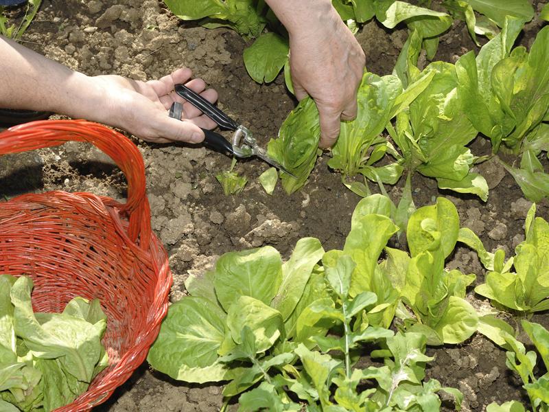 Radicchio | Come coltivarlo con successo