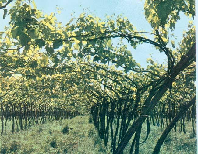 vitigno del nord italia