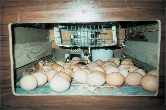 incubatrice per pulcini