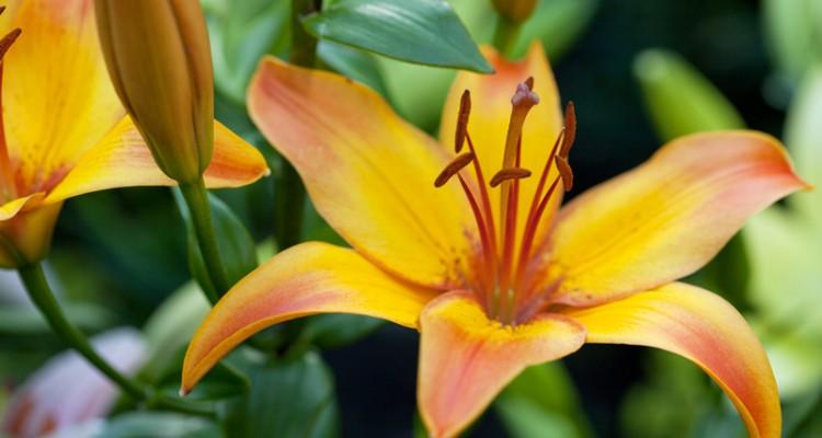 Giglio grandi fiori profumati elegante in giardino e for Lilium in vaso