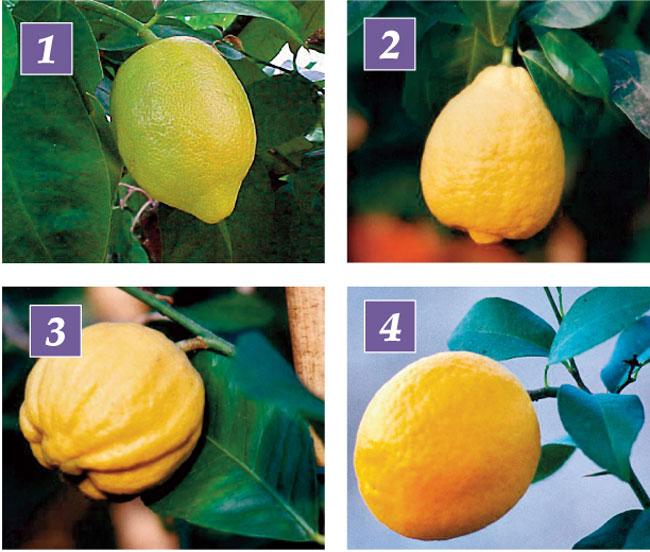 limoni varietà