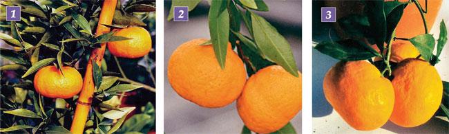 varietà mandarino