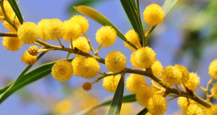 Mimosa dai fiori gialli profumatissimi simbolo festa for Mimosa in vaso