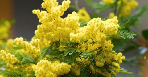 foto di mimosa