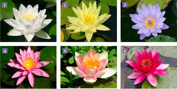 Alcuni Tipi Di Ninfee Distinguibili Per La Differente Colorazione.