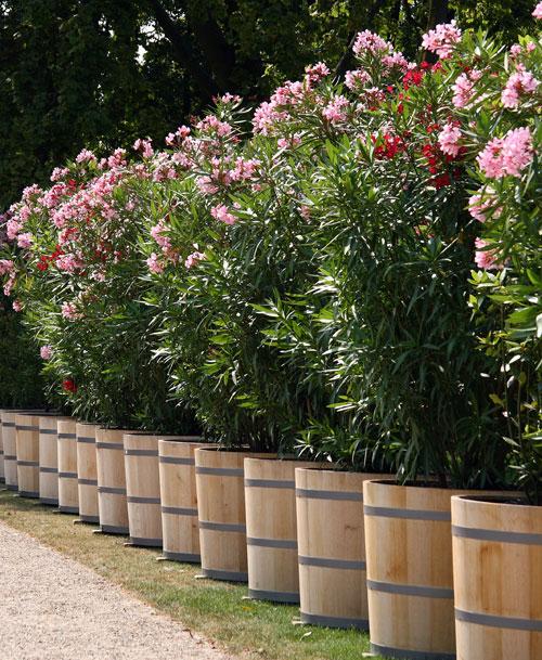 oleandro variet e riproduzione fai da te in giardino