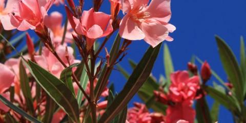 Piantare le rose fai da te in giardino for Oleandro riproduzione
