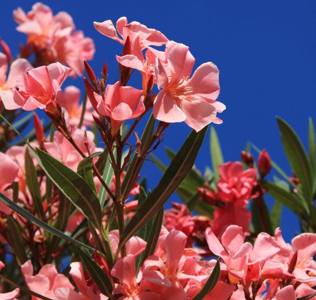 Oleandro – Varietà e riproduzione