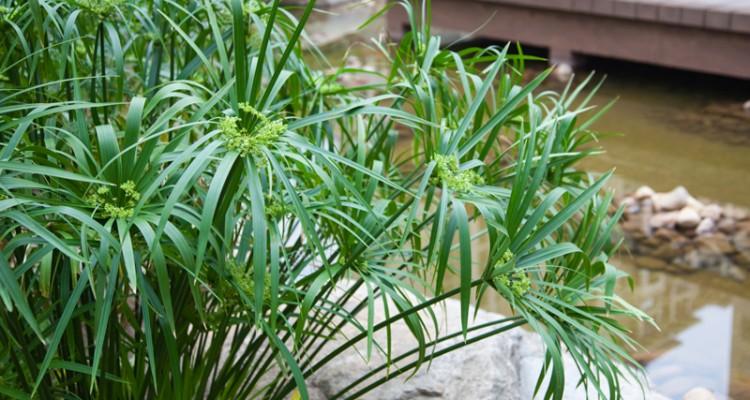 Coltivare il papiro trapianto riproduzione e vasca fai for Pianta con la p