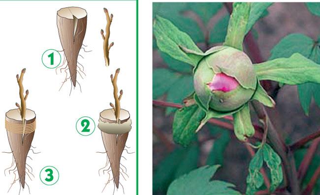 riproduzione peonia arborea
