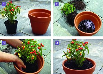 coltivare il peperoncino coltiva