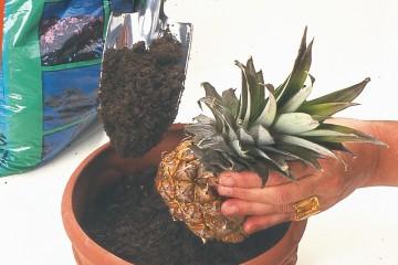 pianta-ananas