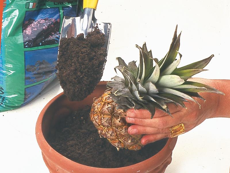 Pianta ananas al trapianto per farne un vaso d 39 appartamento for Pianta ananas
