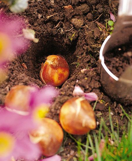 piantare-bulbi-3