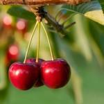Come piantare il ciliegio passo-passo