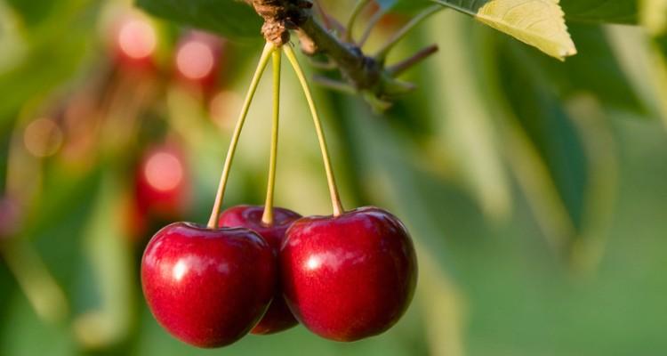 piantare-il-ciliegio