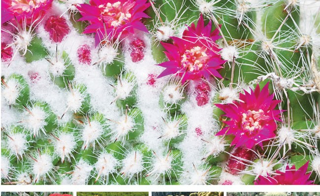 Piante grasse le cactacee fai da te in giardino for Piante rare