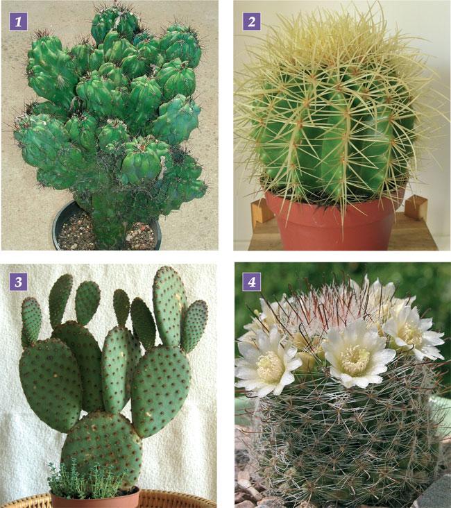 piante grasse le cactacee fai da te in giardino
