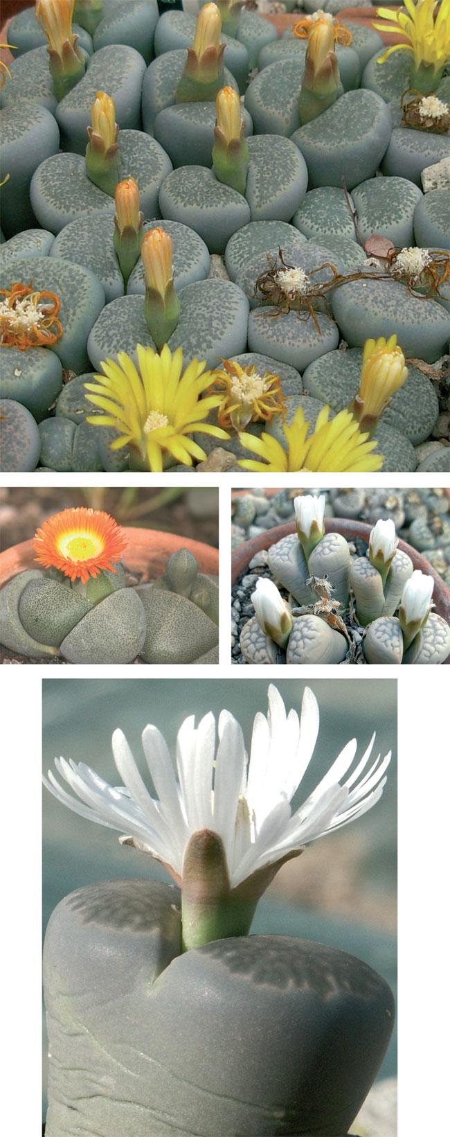 piante grasse rare, piante grasse, piante succulente