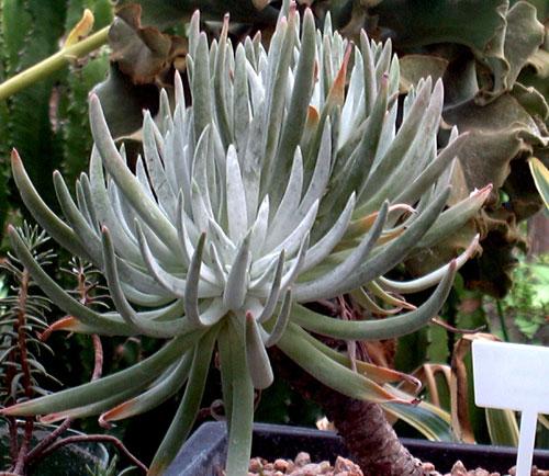 Piante grasse succulente fai da te in giardino for Piante rare