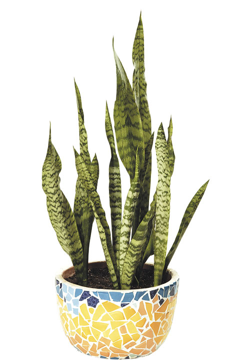 piante grasse succulente, piante succulente, succulente, piante grasse, piante grasse rare, grasse, succulenti