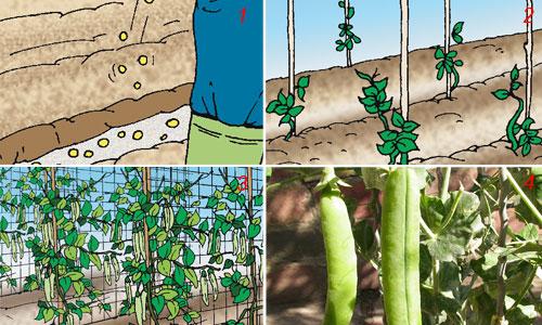 coltivazione piselli