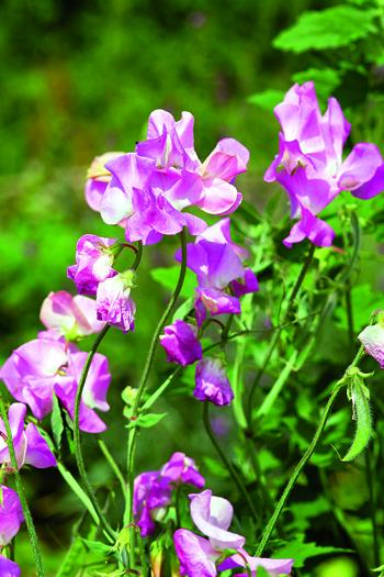pisello odoroso fiore