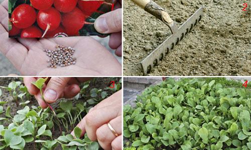 Coltivare i ravanelli facile gustoso e colorato in cucina for Semina a spaglio