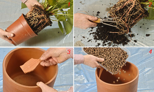 foto di rinvasare piante d'appartamento