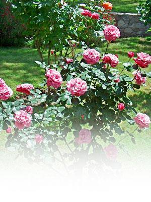 Piantare le rose fai da te in giardino for Rose da giardino