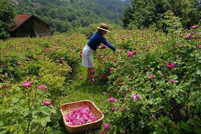 Sciroppo di rose ricetta illustrata passo passo fai da te in giardino - Rose coltivazione in giardino ...
