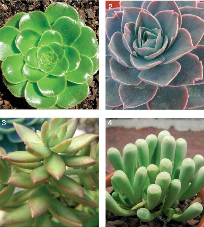 Sempervivum variet e composizioni fai da te in giardino - Piante grasse da esterno in inverno ...