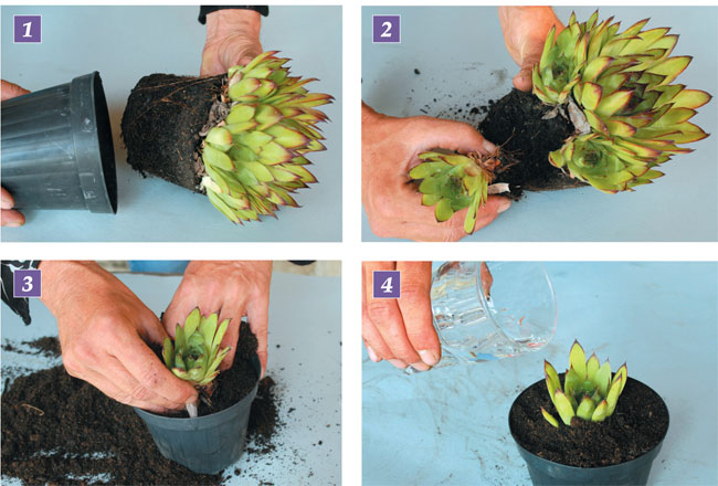 sempervivum, semprevivi, piante grasse succulente, piante grasse,