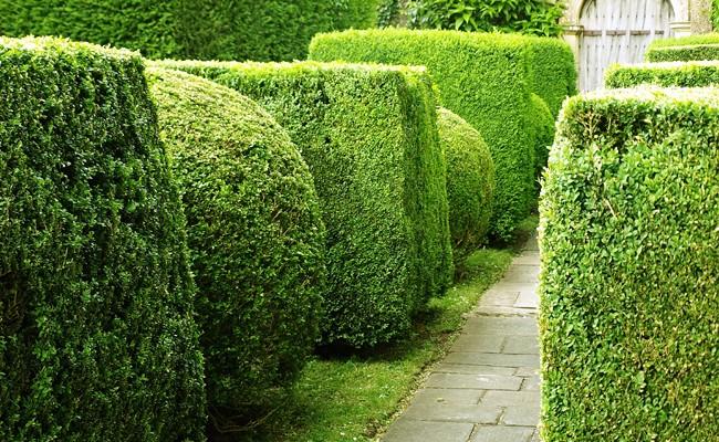 Siepe sempreverde fai da te in giardino - Sempreverde da giardino ...