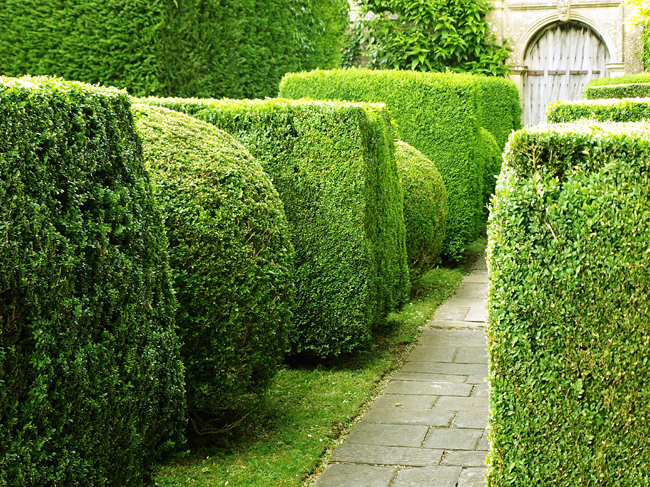 Siepe sempreverde fai da te in giardino - Alberi sempreverdi da giardino ...